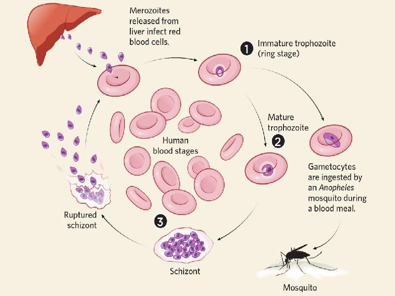 La malaria  1